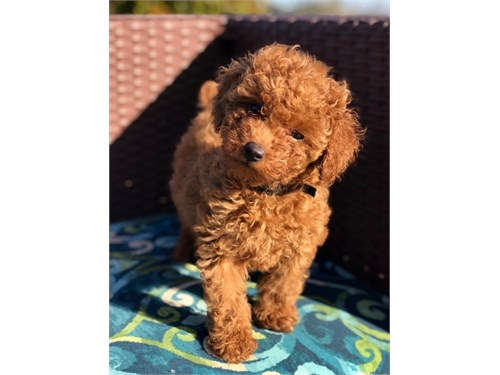 Red Maltipoo