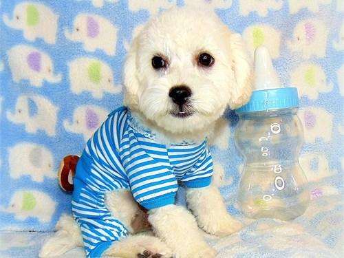 Poodle/white