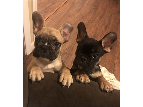 FCI French Bulldogs