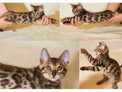 Bengal kitten.