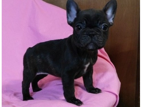 Home raised Frenchie Pup