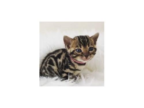 Charming Bengal Kittens