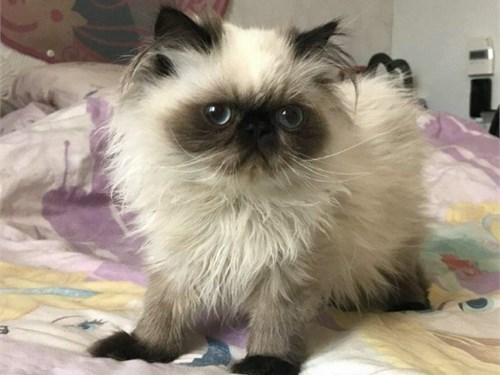Himalayan kitten for sale