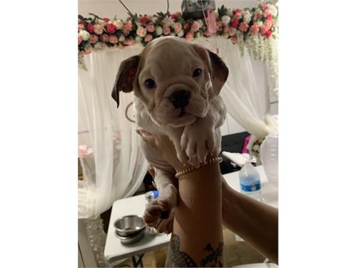 English bulldog puppies | Pets | Anaheim CA | recycler com