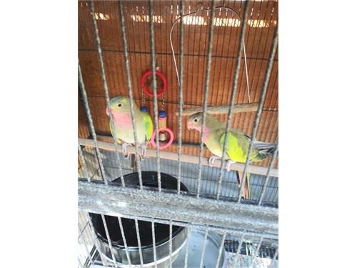 Princess of Wales parrot