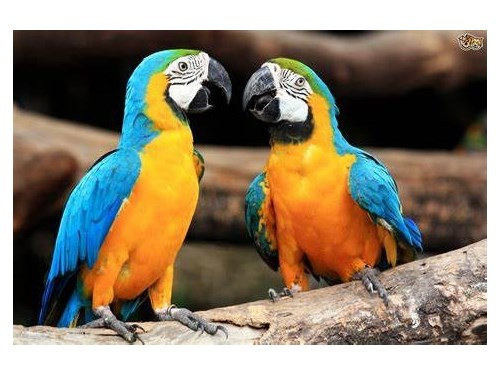 macaw parrot for sale,