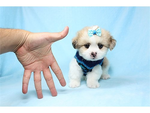 OMG Toy PomShi Puppies :)