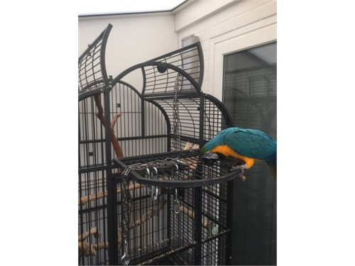 great macaw available