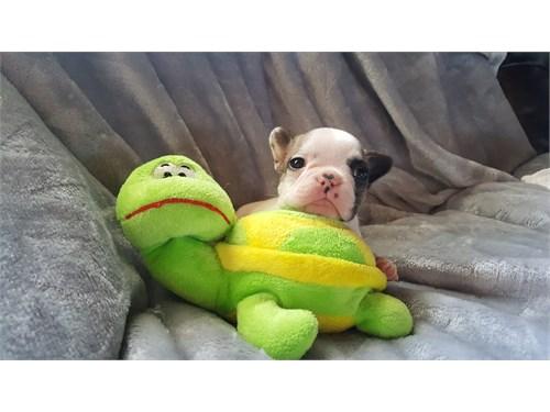 French Bulldog Pups- AKC
