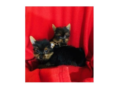 T-Cup and Toy Yorkie Pups