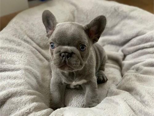 French bulldog Adopt now