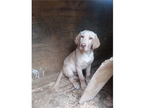 Akc Labrador puppy