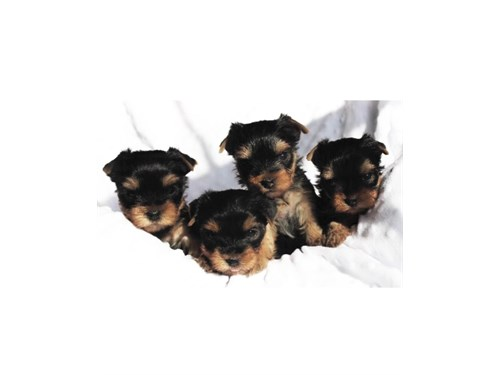 T CUP YORKIE PUPPIES