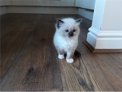 Rosie ragdoll kittens