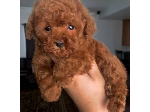 AKC Red Toy Poodle Pups