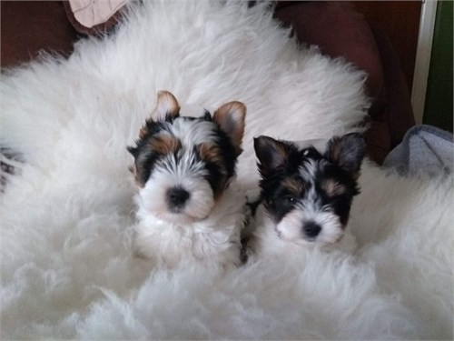 Teacup Parti Yorkie Pupps