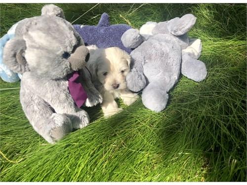 Teacup Maltipoo Puppy