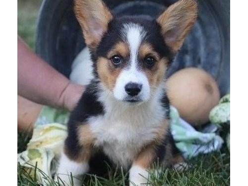 Pembroke welsh corgi pup
