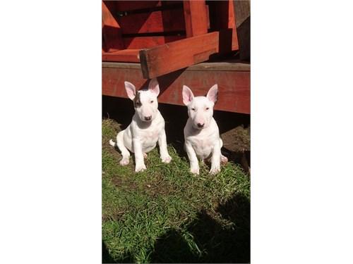 Bull terrier puppies