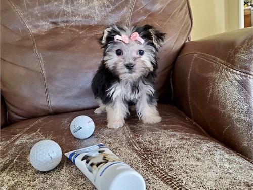 Tiny Teacup Morkie Girl