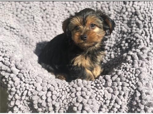 Very Cute Yorkie Pup