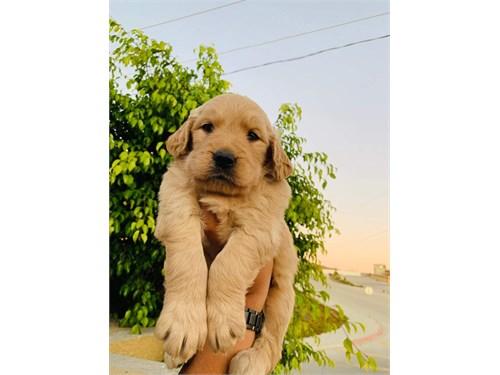 Golden retrievers puppy's