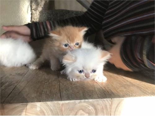 Award winning persian cat