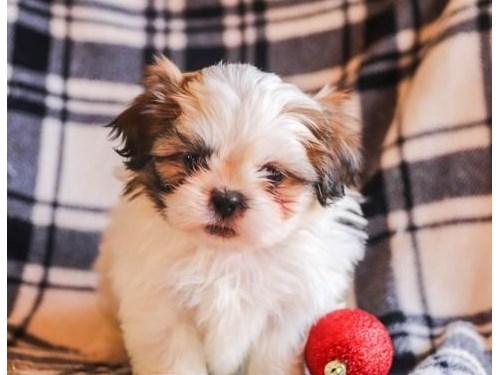 Shih Tzu Puppies Availabl