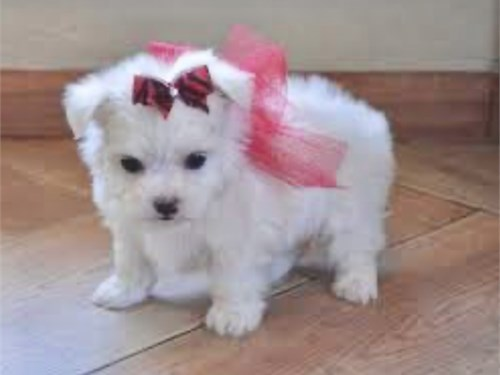 T CUP MALTESE FOR SALE