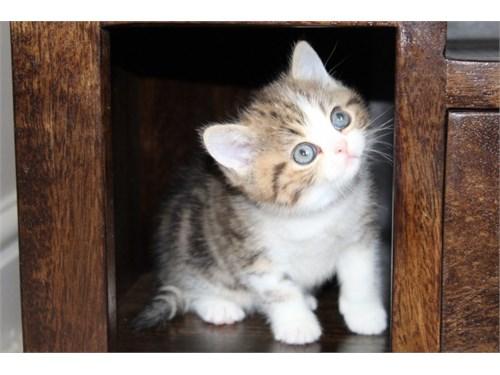 Vaz exotic shorthair kitt