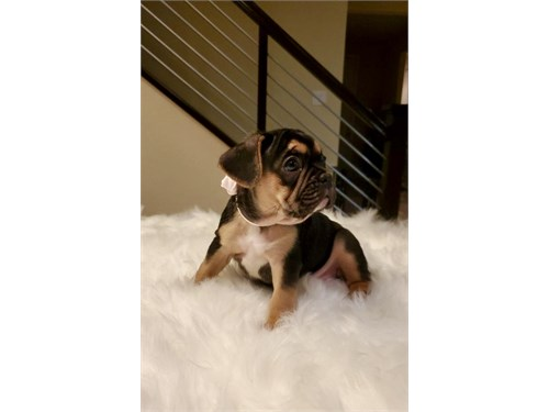 French bulldogs available