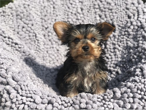 Adorable Yorkie Pup