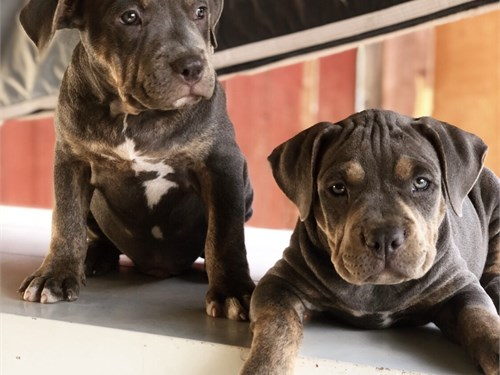 American Bully Young Pups