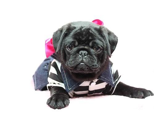 Toy Pug Puppies