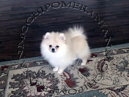 AKC Teacup Pomeranian