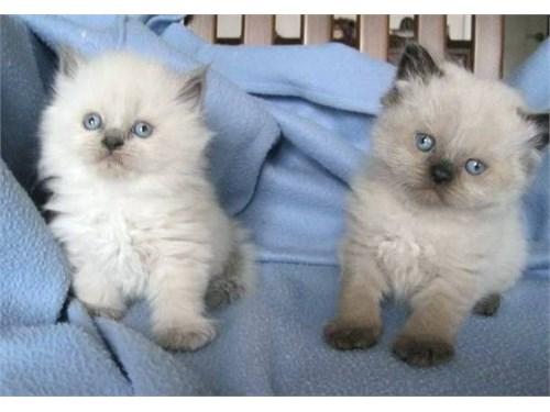 Champion Himalayan Cats
