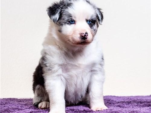 Stunning Blue Eyes Aussie