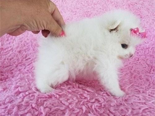 2 Pomeranian Pups