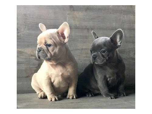 Cute French Bulldog Pups