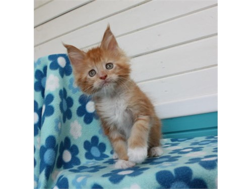 Maine coon kittens 4sale.