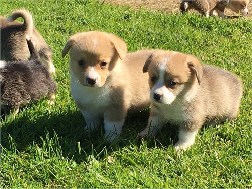 Stunning Corgi Puppies