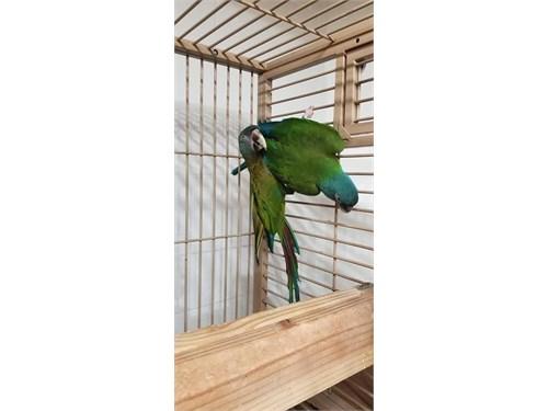 Cute Blue headed macaw