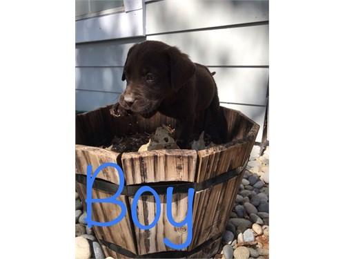 Chocolate Labradors Puppy