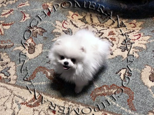 AKC Teacup Ice white Pom