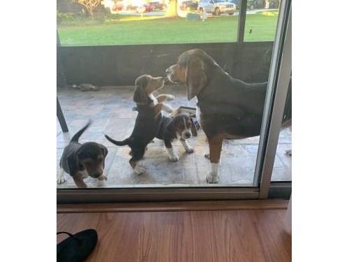 Teacup Beagle pups