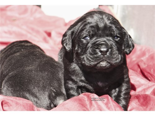 pure black canecorso pups