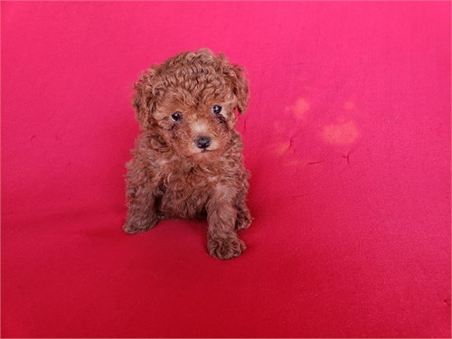 Tiny Poodle Female
