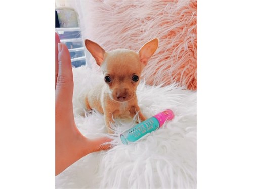 TEACUP CHIHUAHUAS PUPPIES