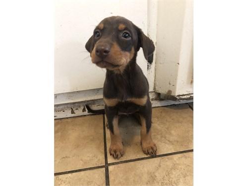 Doberman-Husky Puppies