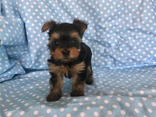Tiny Yorkie